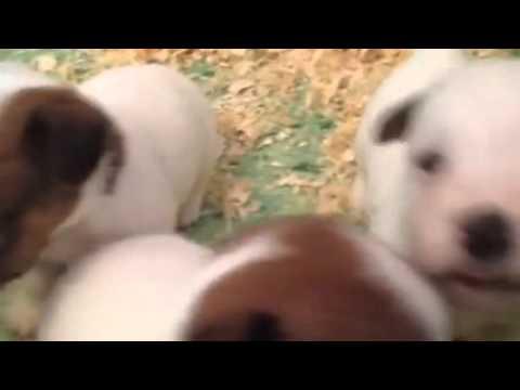 Vendita bellissimi cuccioli di jack russell