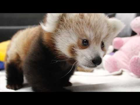 Children - Lincoln Children's Zoo is excited to announce two new additions to the Zoo family! Red panda twins, a boy and girl, were born on July 1. The cubs, who are being hand raised because their mother...