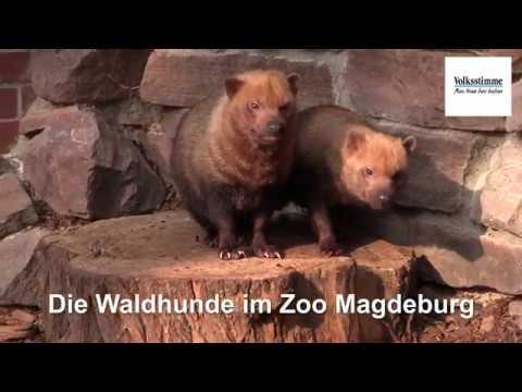 Südamerikanische Waldhunde im Zoo Magdeburg