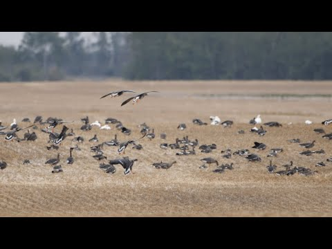 EARLY SNOW GOOSE CRUSHING ... Claudio Ongaro's Hired to Hunt Season 5 Episode 2