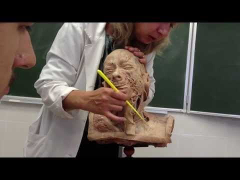 Шейное сплетение plexus cervicales