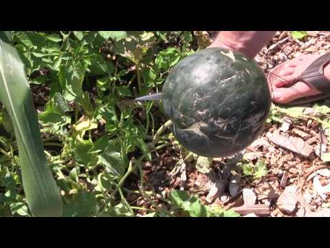 MIgardener | Simple Organic Gardening & Sustainable Living<br />\n<br />\nPublished on Sep 16, 2016<br />\n<br />\nWe are doing something today that has never been done before in the MIgardener garden! Getting watermelons at the cottage garden is a challange because of how wet and cold it gets and so much a challange that we have never been able to do it... until today! Maybe?