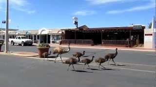 Denham Australia  city photos gallery : Emus in Denham, Western Australia