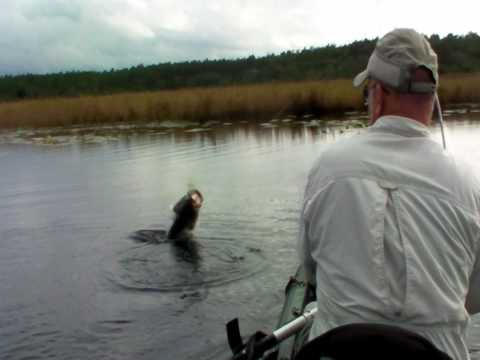 Trophy Bass Leaping Attack on FROG Lure