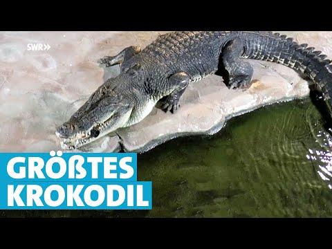 Wilhelma in Stuttgart: Das größte Krokodil Deutschlan ...