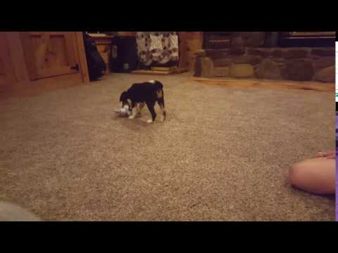 Jace already playing fetch!