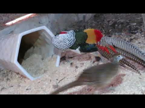 Lady Amherst pheasants mating dance
