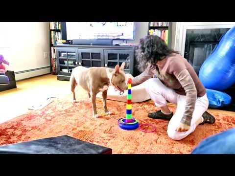 Veronica Lynn Pit Bull learning the rules of ring toss - part 2