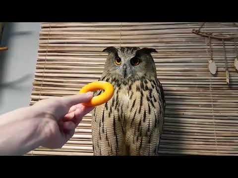 Как докопаться до совы. Измерение терпения филина Ёлки