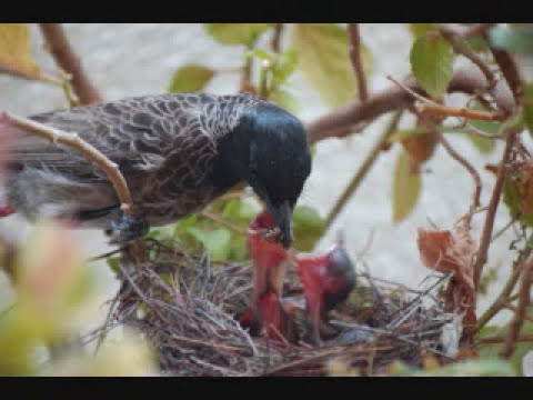 Video Red Vented Bulbul Lifecycle Benz Chennai download in MP3, 3GP, MP4, WEBM, AVI, FLV January 2017