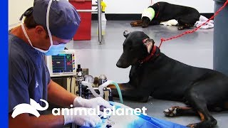 Two Doberman Brothers Have Severe Ear-Cropping Injuries | Animal Cops Houston by Animal Planet