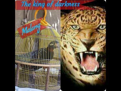 Video Black Francolin ki Awaz Kala Teetar ki Awaz download in MP3, 3GP, MP4, WEBM, AVI, FLV January 2017