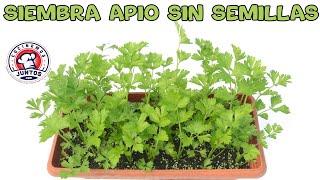 Cómo sembrar apio sin semillas