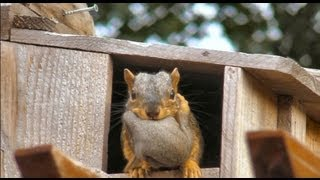 CUTE! Momma squirrel moves her babies - YouTube
