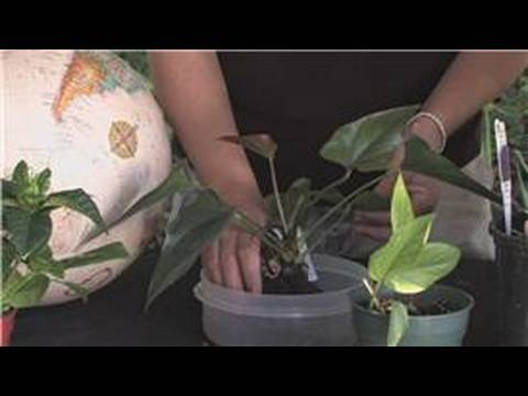Flower Gardening : How to Grow Anthuriums