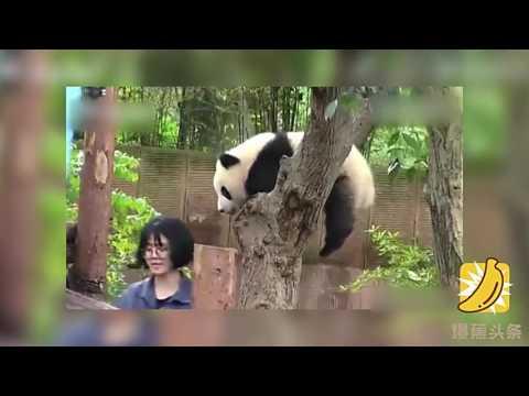 熊貓寶寶趁合照時「一口咬下妹子頭」,被抓包後「我什麼也沒幹」裝無辜可愛炸了!