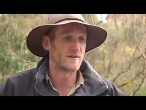 العرب اليوم - شاهد: حملة لتنظيم انتشار دببة الكوالا في أستراليا