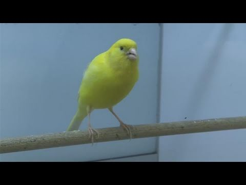 Canary - This instructional video is a helpful time-saver that will enable you to get good at birds. Watch our short video on How To Care For Canary Birds from one of...