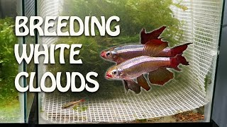 Caught in the ACT! How to increase yield when breeding egg laying aquarium fish by Rachel O'Leary