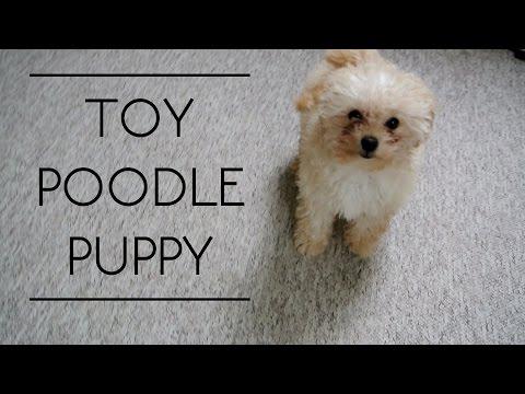 TOY POODLE PUPPY (видео)