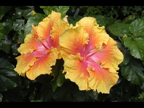 Care and Culture of Hibiscus
