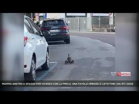 MAMMA ANATRA A SPASSO PER VICENZA CON LA PROLE, UNA FAVOLA URBANA A LIETO FINE | 03/07/2020
