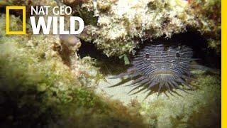 Grumpy Toadfish Sing Strange Love Songs | Nat Geo Wild by Nat Geo WILD
