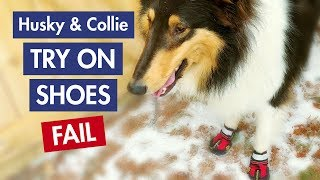 Dog With Shoes FAIL: Husky & Collie Try On Shoes for the 1st Time
