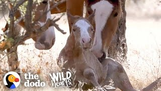 Wild Baby Horse Takes Her Very First Steps | The Dodo Wild Hearts by The Dodo