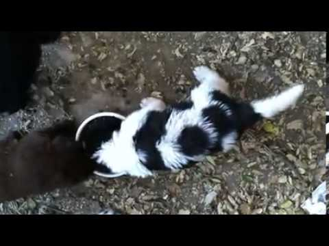 Landseer Newfoundland puppy known as cow spots.