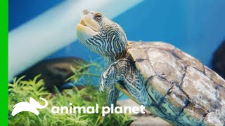 Maggie The Turtle Gets Some Dental Work Done | The Aquarium by Animal Planet
