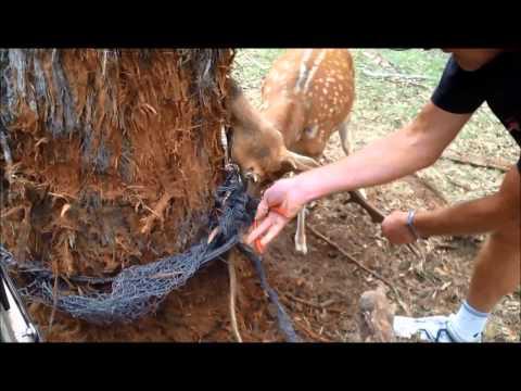 Saving the Deer
