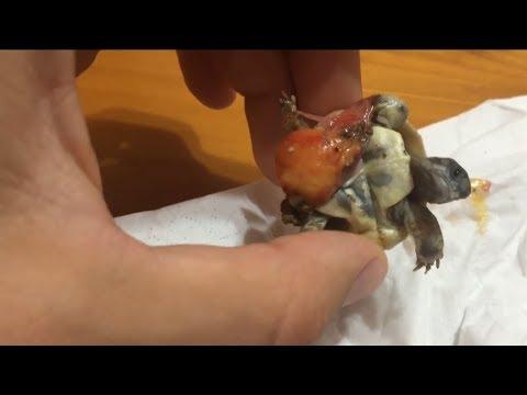 ¡¡Salvando tortuguita bebé!!