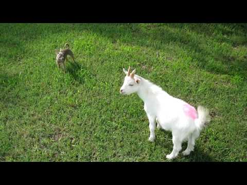 Chihuahua Playing with Goat