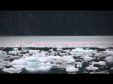 Icy Bay Camping How to - On June 25, 2011, a transient pod of three orcas entered Icy Bay in western Prince William Sound.. I was camped on the south shore of Icy Bay and watched man...