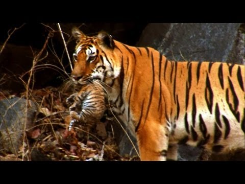 Tiger - A young tiger cub - one of a littler of four - tumbles from the den, only to be carried back to safety in it's mother's massive jaws. Astonishing footage sho...