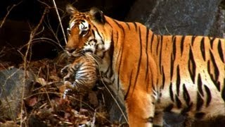 Wild tiger cub - for the first time on film - David Attenborough - Tiger Spy in the Jungle - BBC full download video download mp3 download music download
