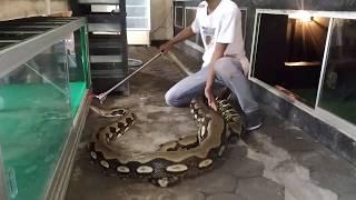 Video Snake Phyton Ular Terbesar Reticulatus Phyton Tiger Indonesia OMAH REPTILE NGANJUK MP3, 3GP, MP4, WEBM, AVI, FLV November 2018