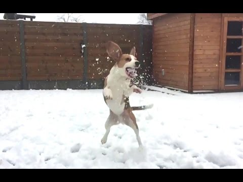 beagle in the snow : slow motion video!