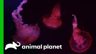 Carefully Moving Adult Jellyfish Into Their New Tank | The Aquarium by Animal Planet