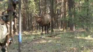 Video Bowhunting Elk: Monster Bull at 10 Steps MP3, 3GP, MP4, WEBM, AVI, FLV Juni 2017
