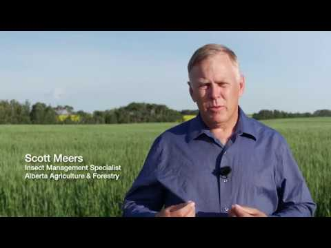 Identifying and scouting for wheat midge