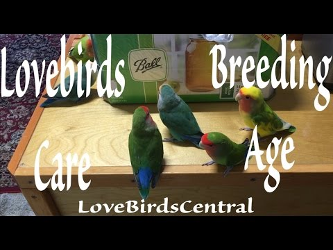 Lovebirds Care | Breeding Age | LoveBirdsCentral #269