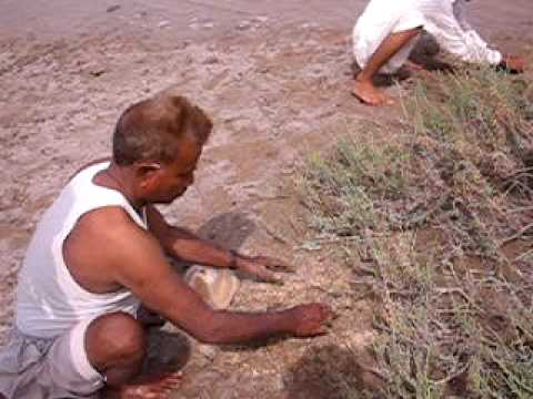 wazeer ustaad prawn feed making
