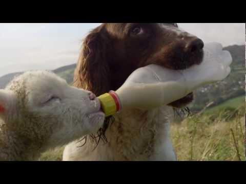 Hund matar ett litet lamm