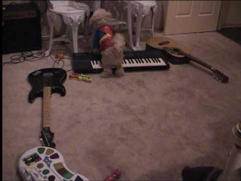 Dogs Singing Toy Poodle and Sharpie Funny Dog Clever Dog Woofie and Frank