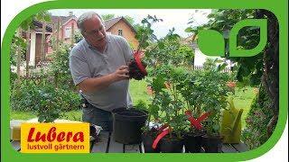 Speedpot-Kartoffeln pflanzen