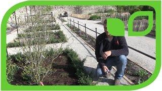 Ippenburger Gartentipps: Wie wird eine frisch gepflanzte Ilex crenata Hecke geschnitten?