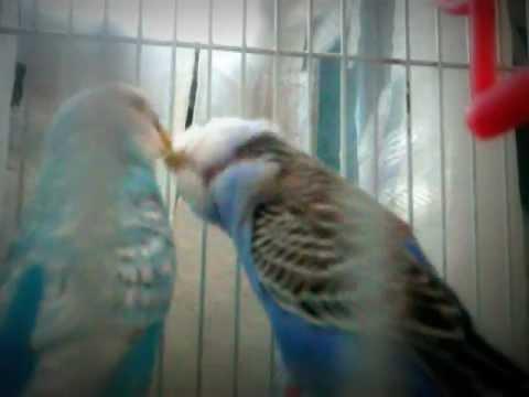 baciami pappagallo!