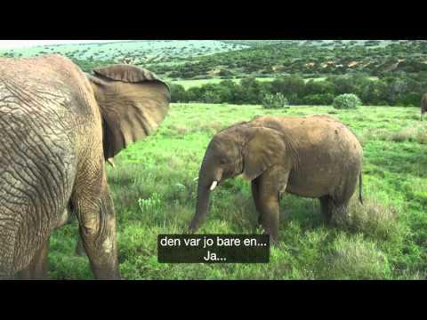 Freia Jungelvenner presenterer: Elefanthukommelse.